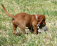 Field Bred Golden Retriever Puppies and Training